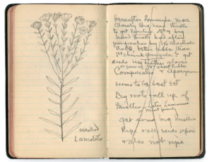 Thomas Edison's notebook with goldenrod drawing