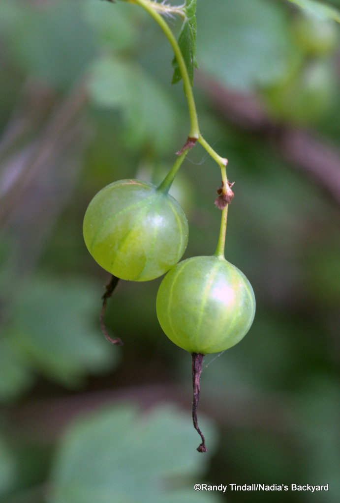 Gooseberries (Ribes missouriense)