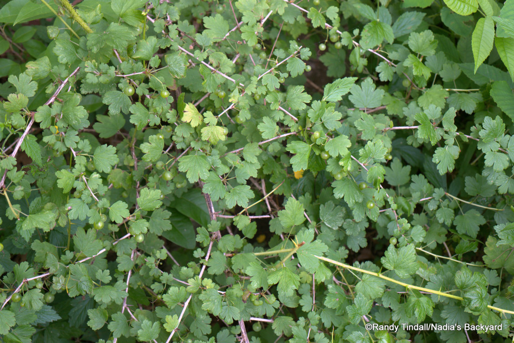 Gooseberry bush (Ribes missouriense)