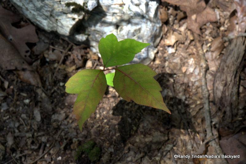 Poison ivy leaf preparing to turn autumn red.