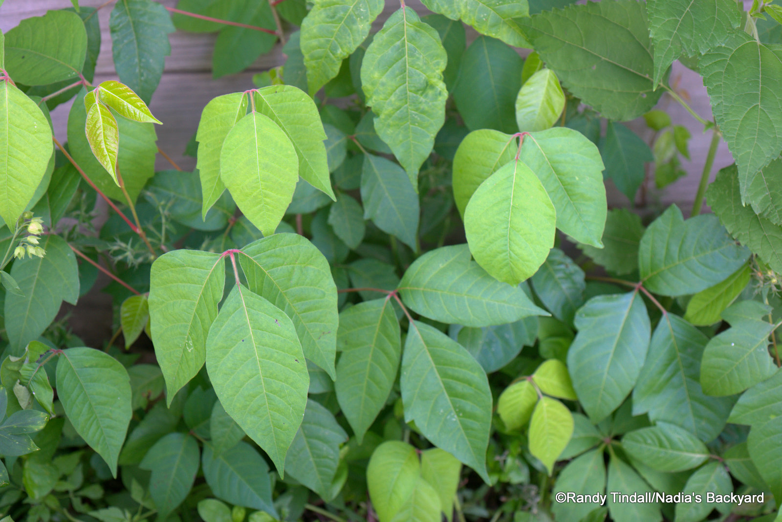 eastern poison ivy toxicodendron radicans our accidental enemy