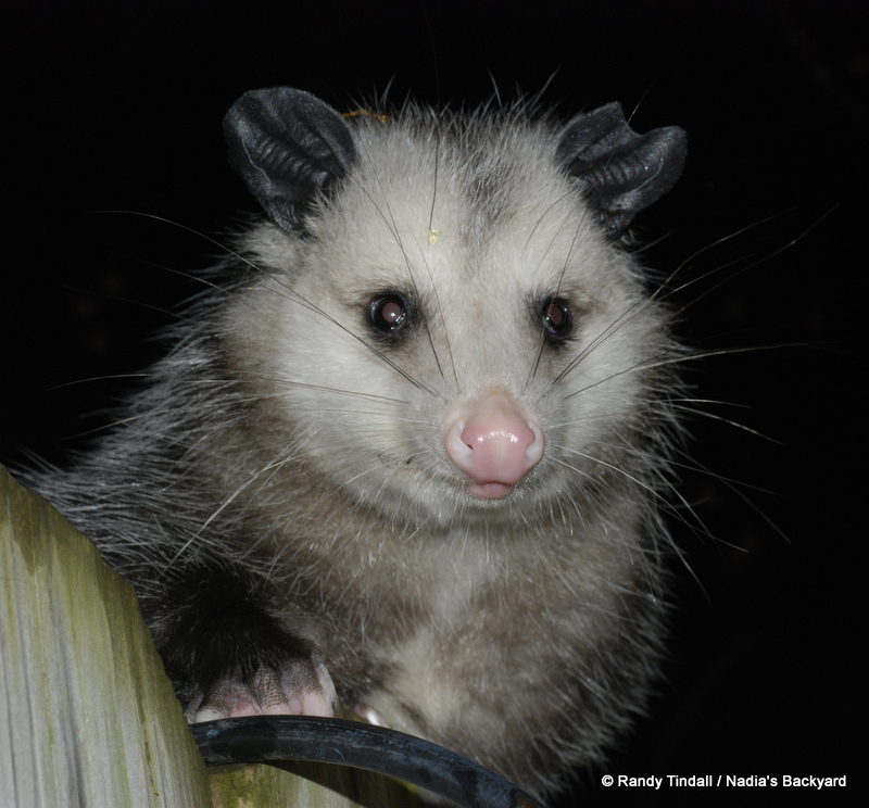 A visiting possum. Probably eating persimmons.