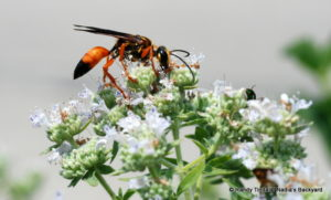 Golden digger wasp.